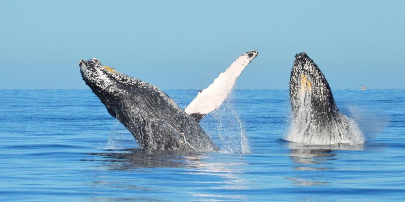 Two Whales Up-Close