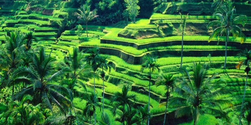 Tegalalang Rice Field Terrace